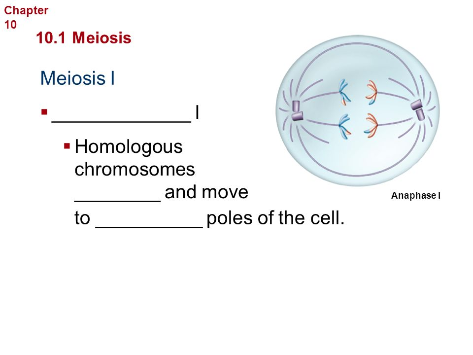 Meiosis I Sexual Reproduction and Genetics 10.1 Meiosis  ____________ I  Chromosome __________ attach to ________ fibers.