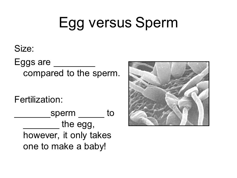Egg versus Sperm ________: At _______ the males _______ makes millions of sperm _______ day.