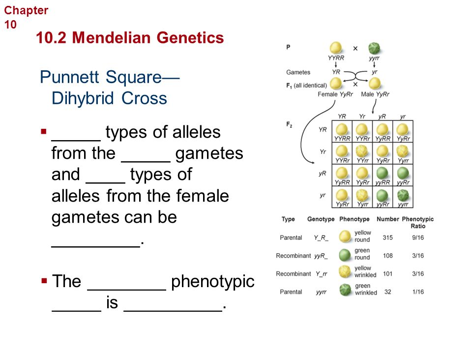 Observed Results We know that the _______ ________ from Punnett Square don't always occur in every family The traits that are _________ ______ in offspring when parents with certain genetic traits mate are the ___________ ___________.