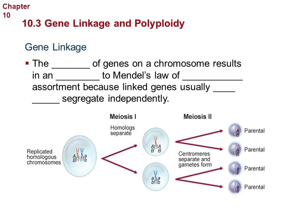 Genetic Recombination  The new ________ of genes produced by _________ _____ and ____________ ___________ 10.3 Gene Linkage and Polyploidy Sexual Reproduction and Genetics  ________ of genes due to independent assortment can be ________ using the formula ___, where n is the number of chromosome ______.