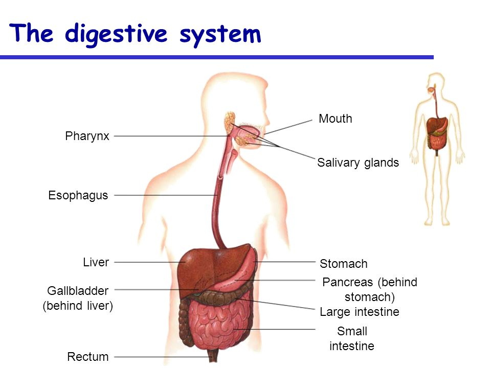 Human Anatomy and Physiology The Digestive System. - ppt download