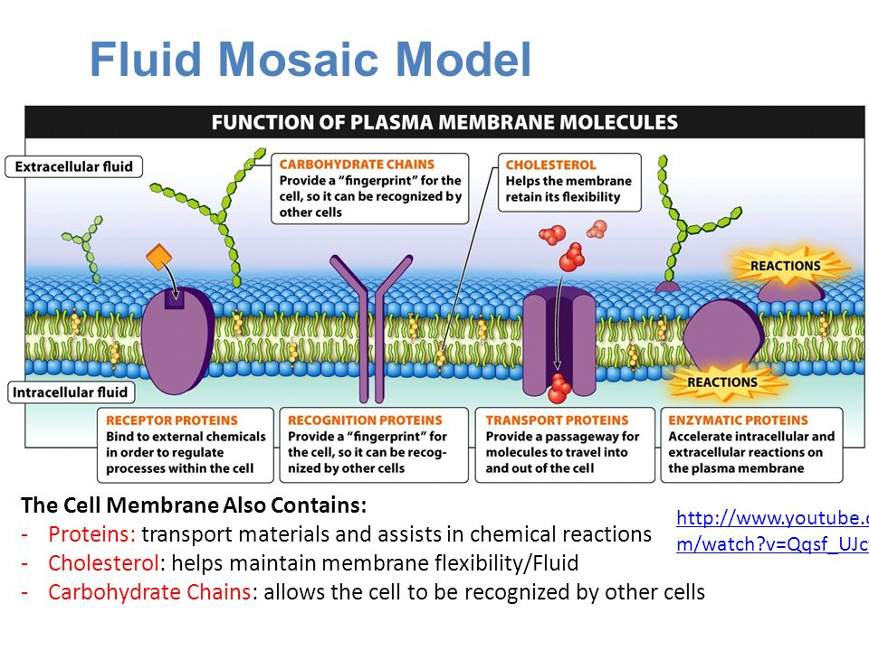 Fluid Mosaic Model The Cell Membrane Also Contains: -Proteins: transport materials and assists in chemical reactions -Cholesterol: helps maintain membrane flexibility/Fluid -Carbohydrate Chains: allows the cell to be recognized by other cells   m/watch v=Qqsf_UJcfBc