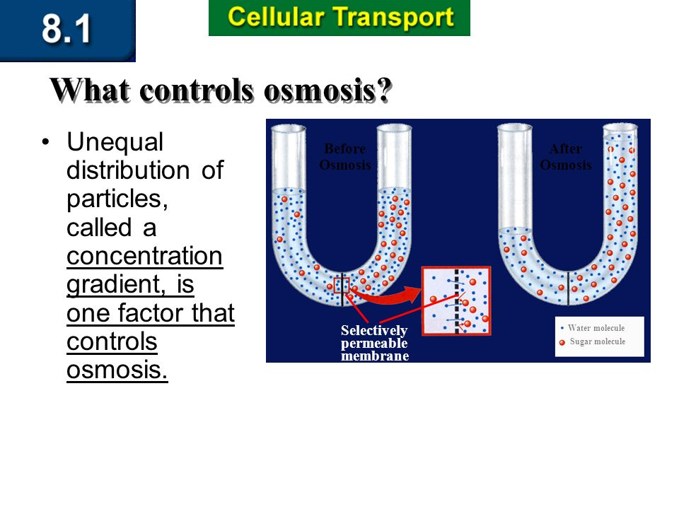 Section 8.1 Summary – pages The diffusion of water across a selectively permeable membrane is called osmosis.