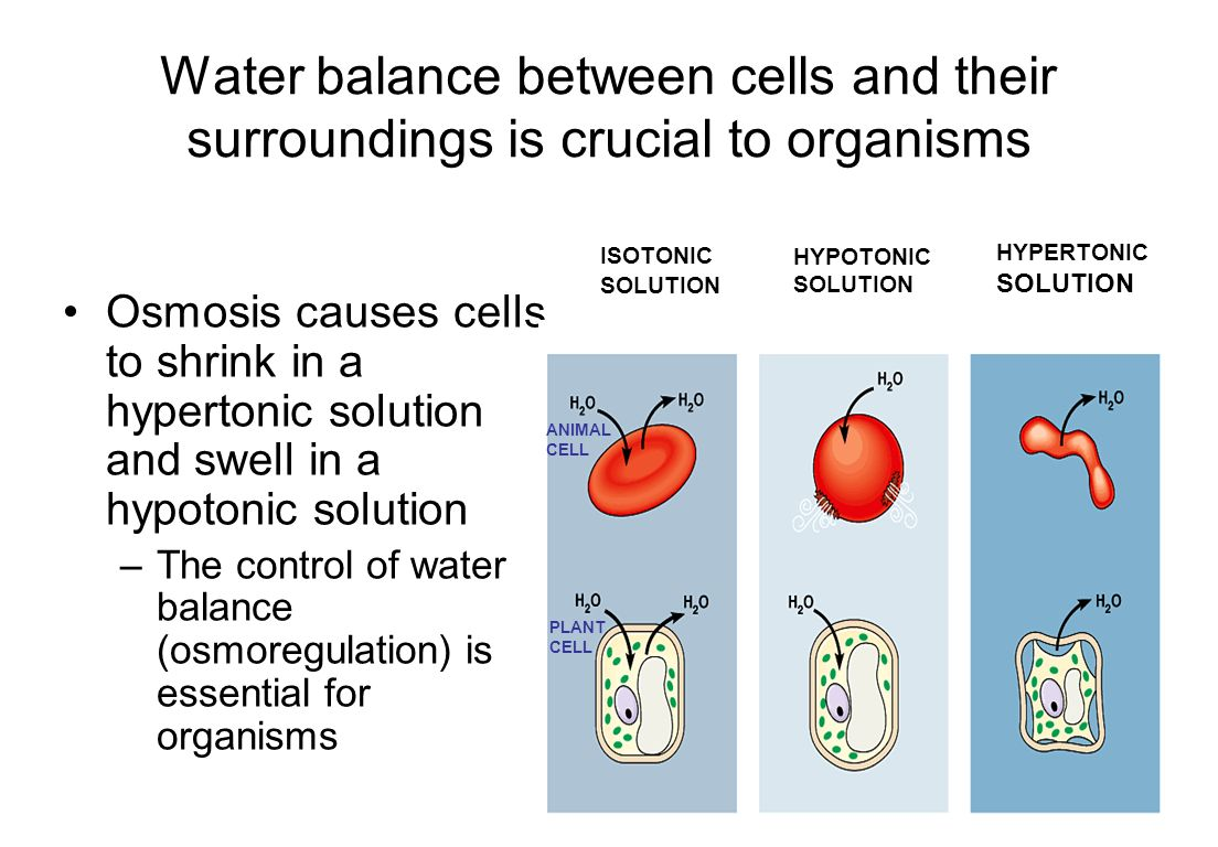 Plant Cell Hypertonic Solution Cellular Structure and Function  Solute concentration is higher outside the cell.