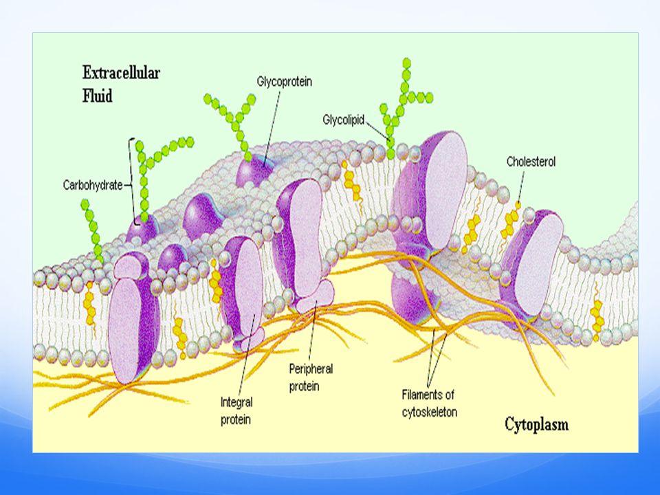 cell membrane cellular transport biology 1 homeostasis and rh slideplayer com Homeostasis and Cell Transport Homeostasis and Transport Concept