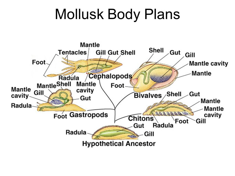 Mollusks Foot Diagram - Illustration Of Wiring Diagram •