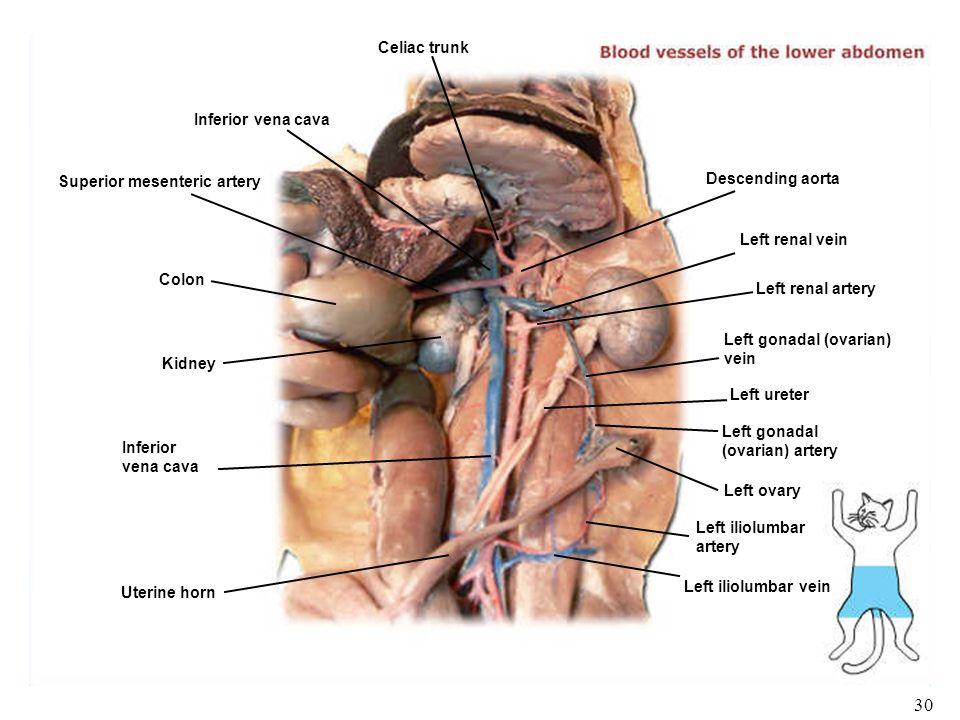 1 Biology 102 Laboratory 5 Veins Human/Cat Gross Anatomy Histology ...