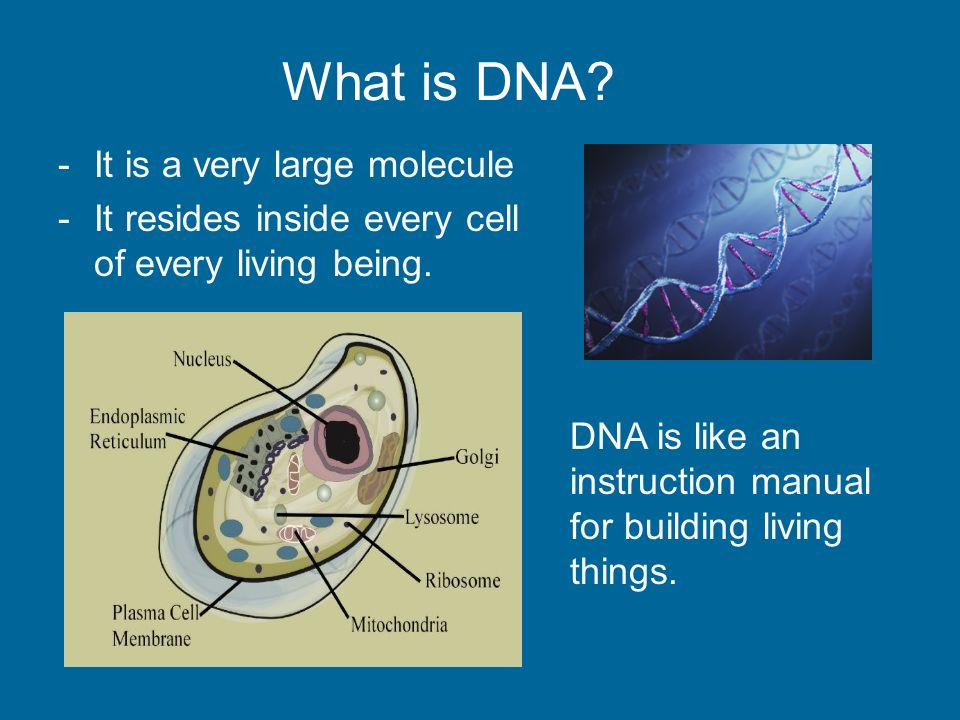 What Is Dna It Is A Very Large Molecule It Resides Inside Every