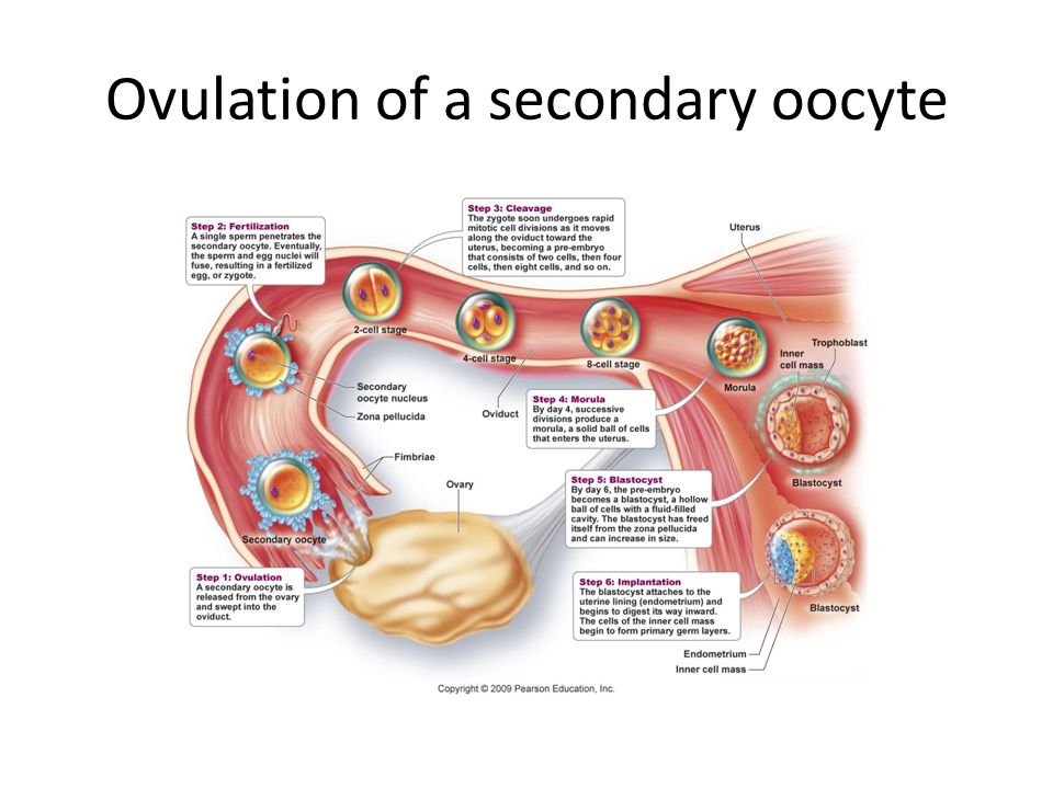 ovulation conception and implantation