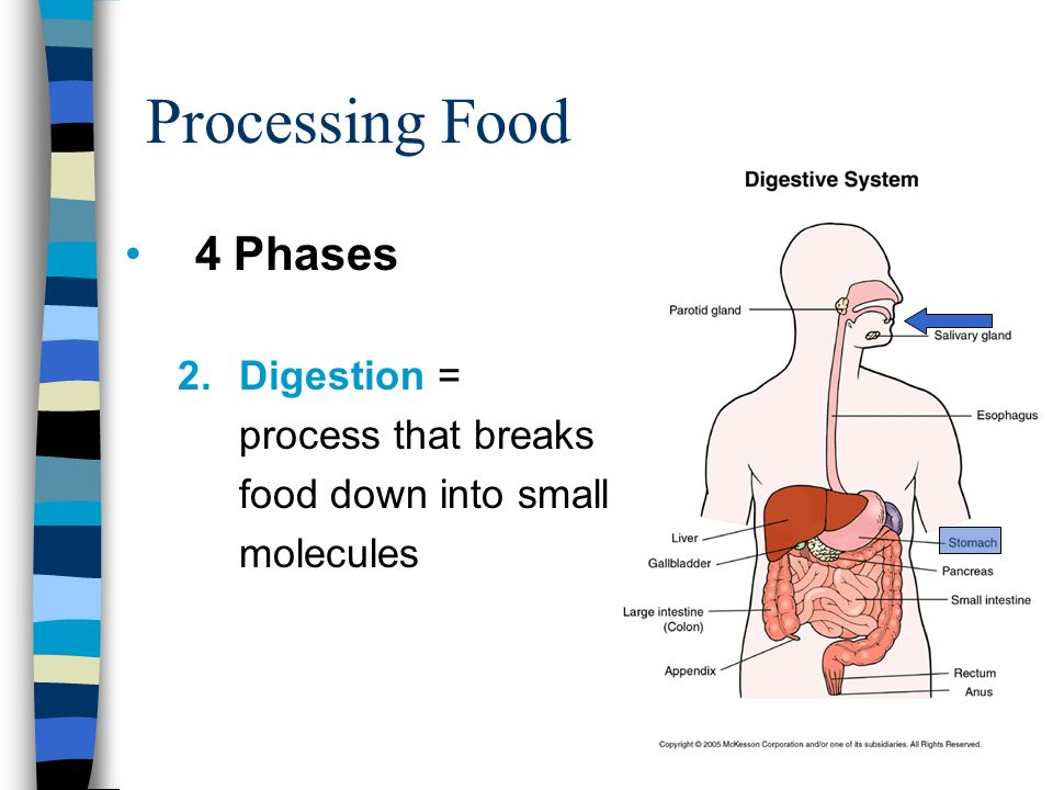 Digestive System Processing Food 4 Phases 1gestion Food Enters