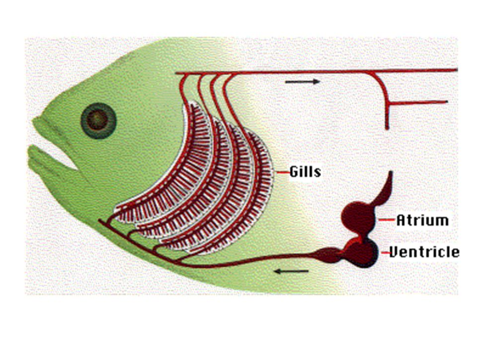 Fish Internal Anatomy and Physiology - ppt video online download