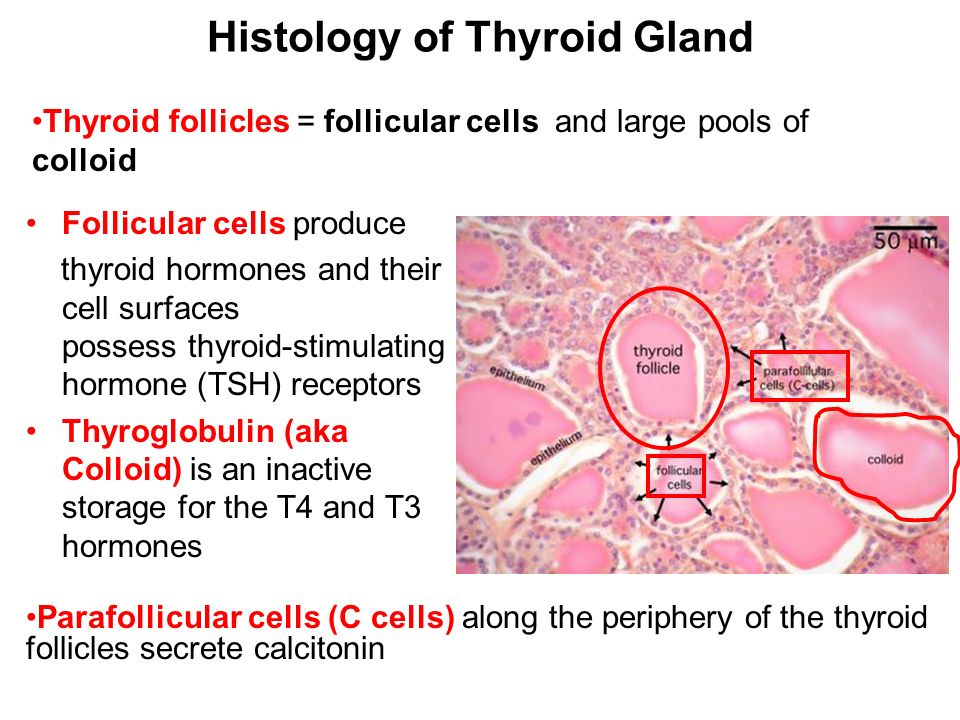 Clinical Anatomy And Embryology Of Thyroid Gland Dr A Podcheko