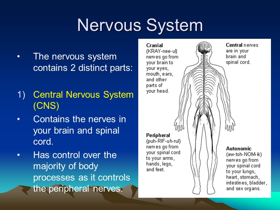 Nerves In Your Body Gallery Human Internal Organs Diagram