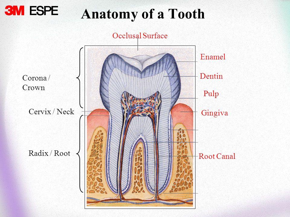 General Anatomy & Terminology. Gingiva Root Canal Enamel Corona ...