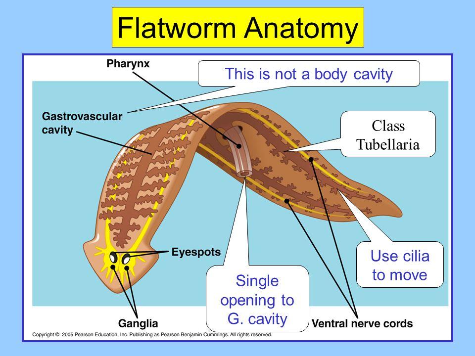 Invertebrates Animal Phylogeny Compacted Some Animal Phyla
