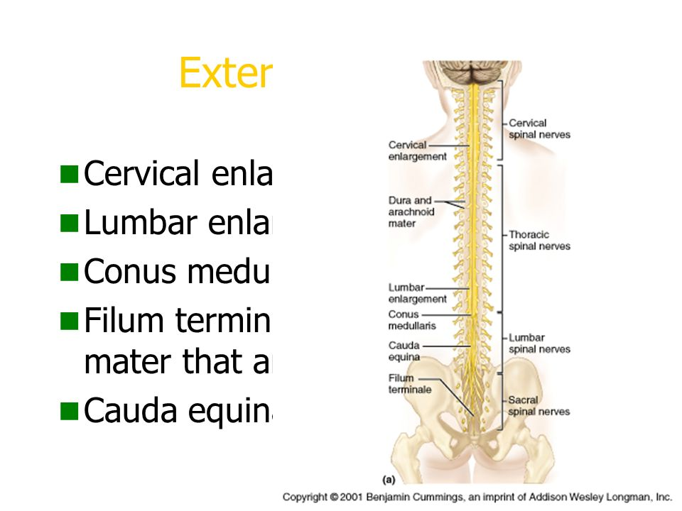 Spinal Cord And Spinal Nerves Major Association Reflex And Communication Center Conduction Route To And From The Brain Ppt Download Locul de fixare la dura mater este deasupra muchiei foramenului magnum, intre nervul hipoglos, situat imediat anterior, si nervul accesor spinal, care ascensioneaza pe aspectul sau posterior. spinal nerves major association reflex