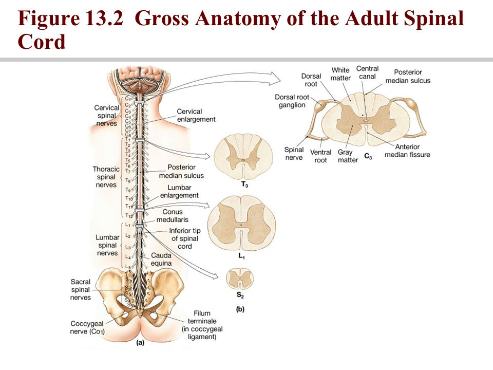 Figure 132 Gross Anatomy Of The Adult Spinal Cord Ppt Download