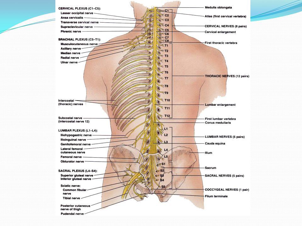 Dr. Michael P. Gillespie. Protective Structures Bony vertebrae ...