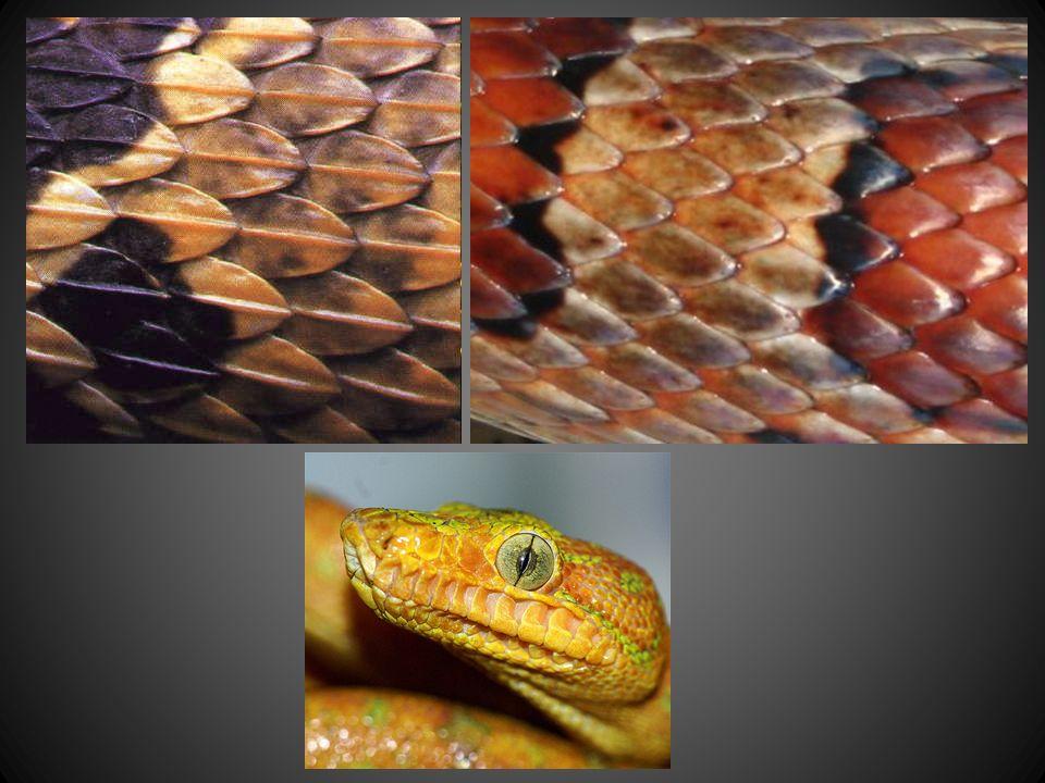 Snakes External Anatomy No Limbs Nostrils No External Ears No