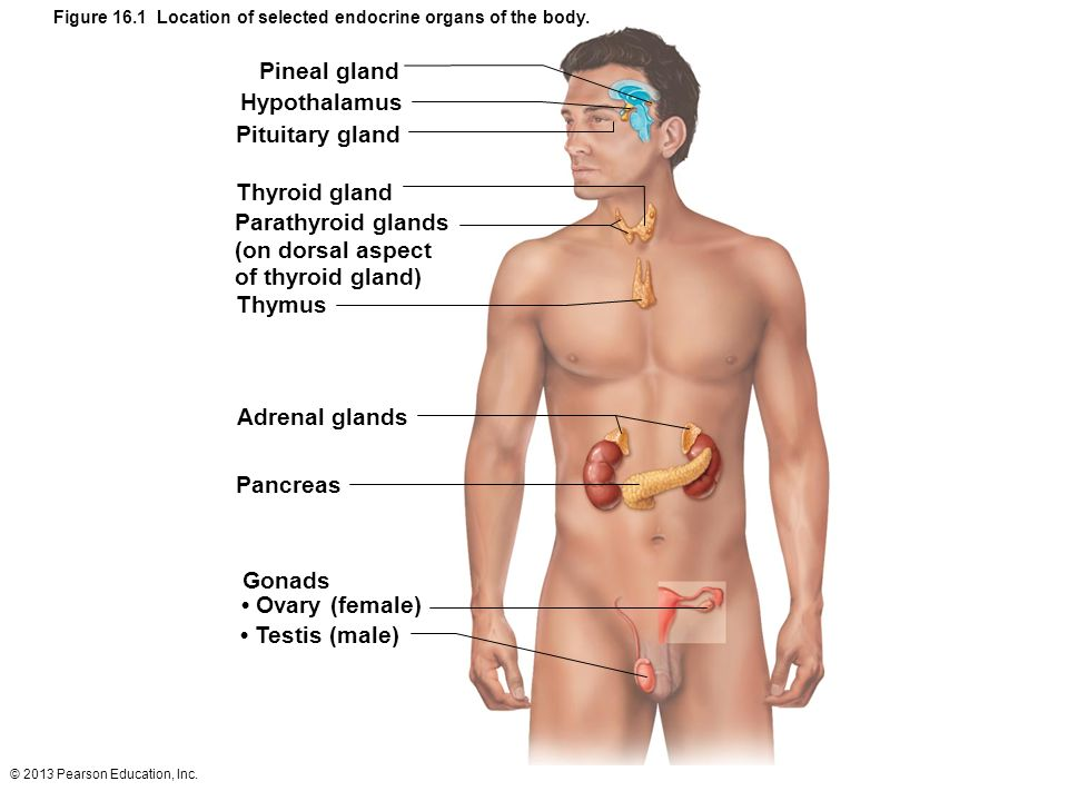 2013 Pearson Education, Inc. Endocrine System: Overview Acts with ...