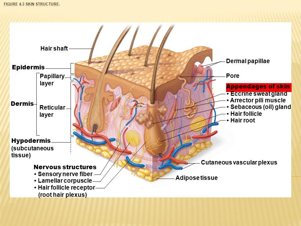 Diagram Of Sweat Gland Hair 10aumi