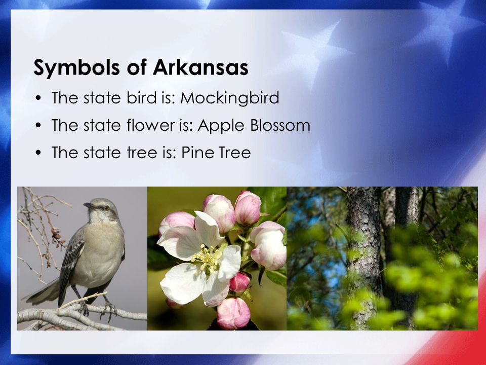 2 Symbols Of Arkansas The State Bird Is Mockingbird Flower Apple Blossom Tree Pine Add A Picture Here