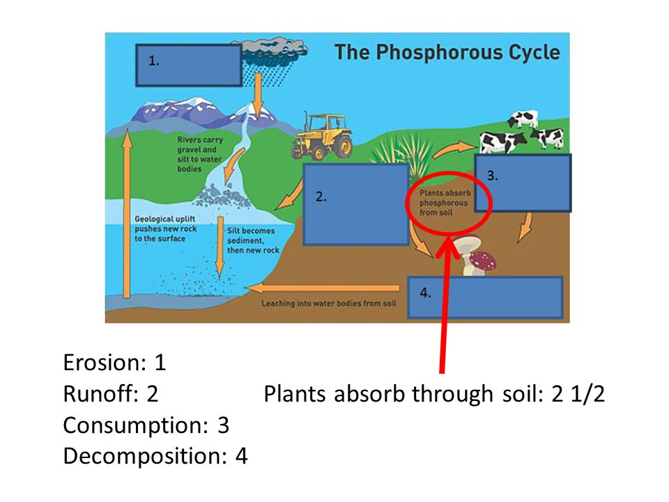 phosphorus cycle essay Biogeochemical cycles questions for your custom printable tests and worksheets in a hurry browse our pre-made printable worksheets library with a variety of activities and quizzes for all k-12 levels.