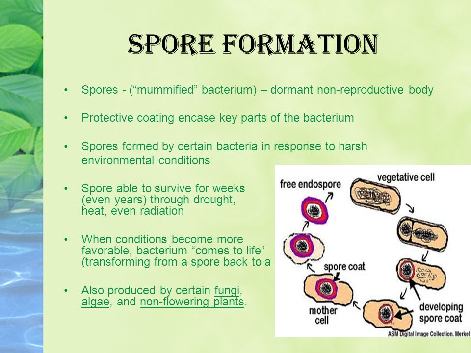 Asexual reproduction in bacteria by endospore