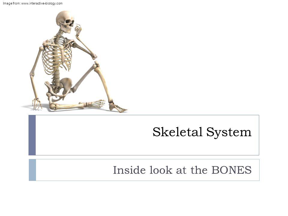 Skeletal System Inside Look At The Bones Image From Ppt Download