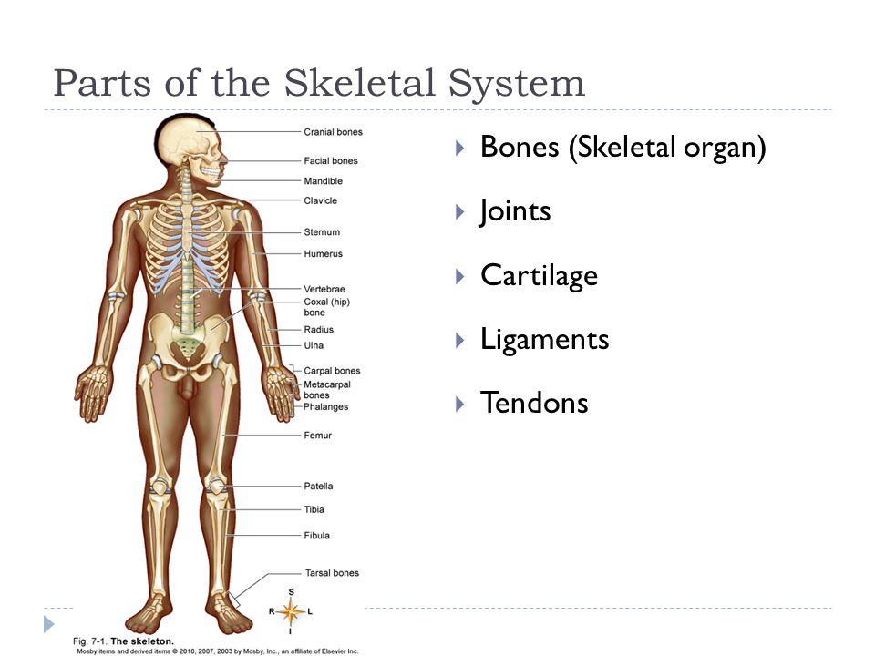 Skeletal System Inside look at the BONES Image from: - ppt download