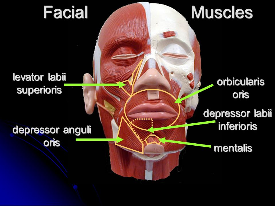 Head And Neck Muscles Facial Muscles Masseter Risorius Buccinator