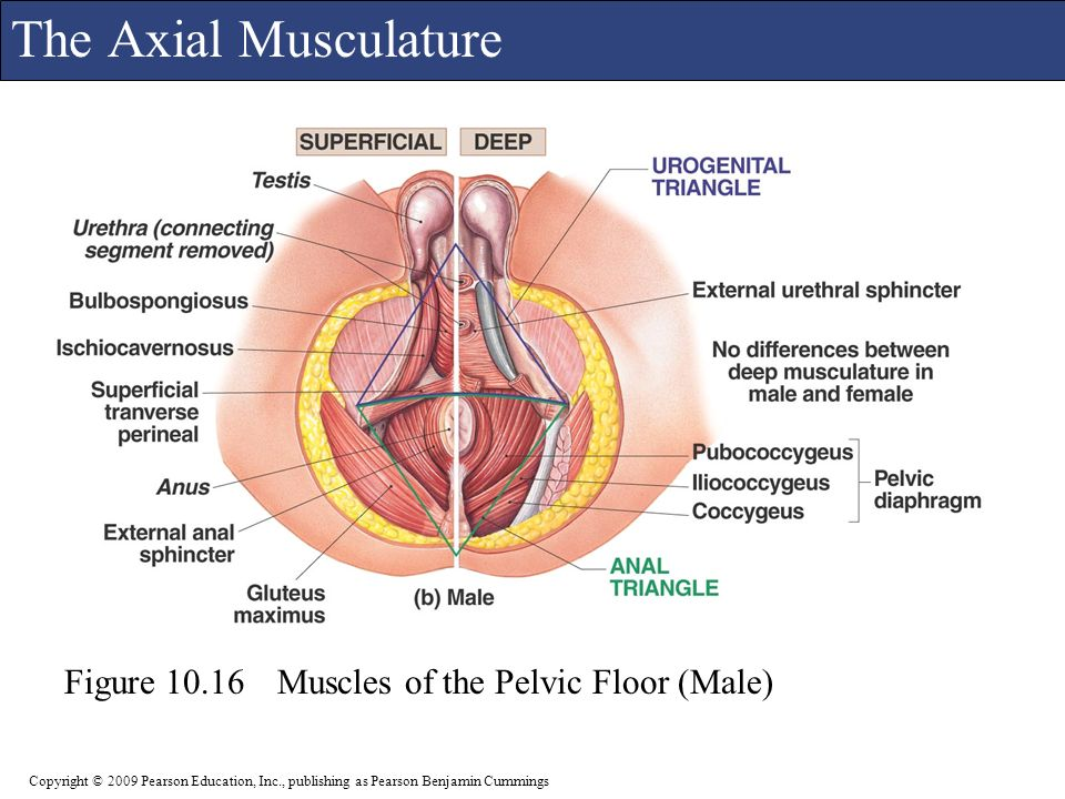 Images Of Male Pelvic Floor Muscles Rock Cafe