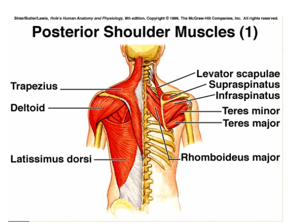 Gross Anatomy Head Neck Trunk Upper Limb Ppt Video Online
