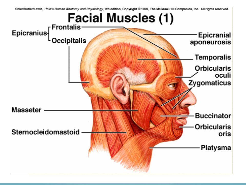 Gross Anatomy Head, Neck, Trunk, & Upper Limb - ppt video online ...