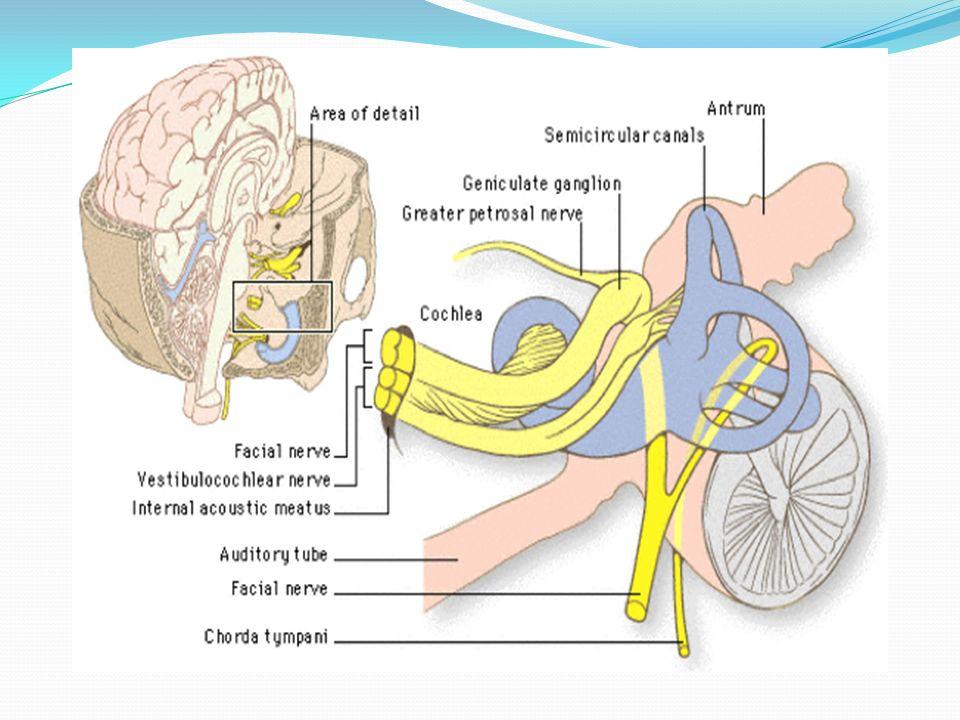 Facial (VII) nerve &Hypoglossal (XII) nerves - ppt video online download