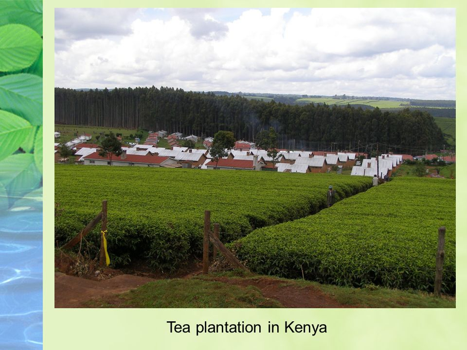 Tea plantation in Kenya