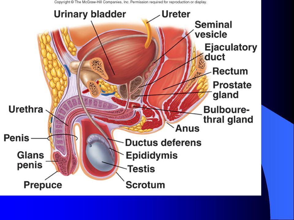 orgasm Cremaster muscle
