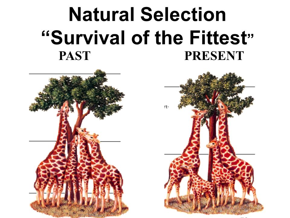 natural selection survival of the fittest pastpresent ppt download