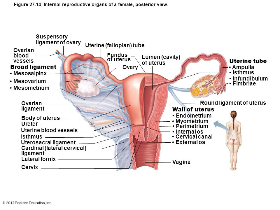 Diagram Of The Female Reproductive System External View - Wiring