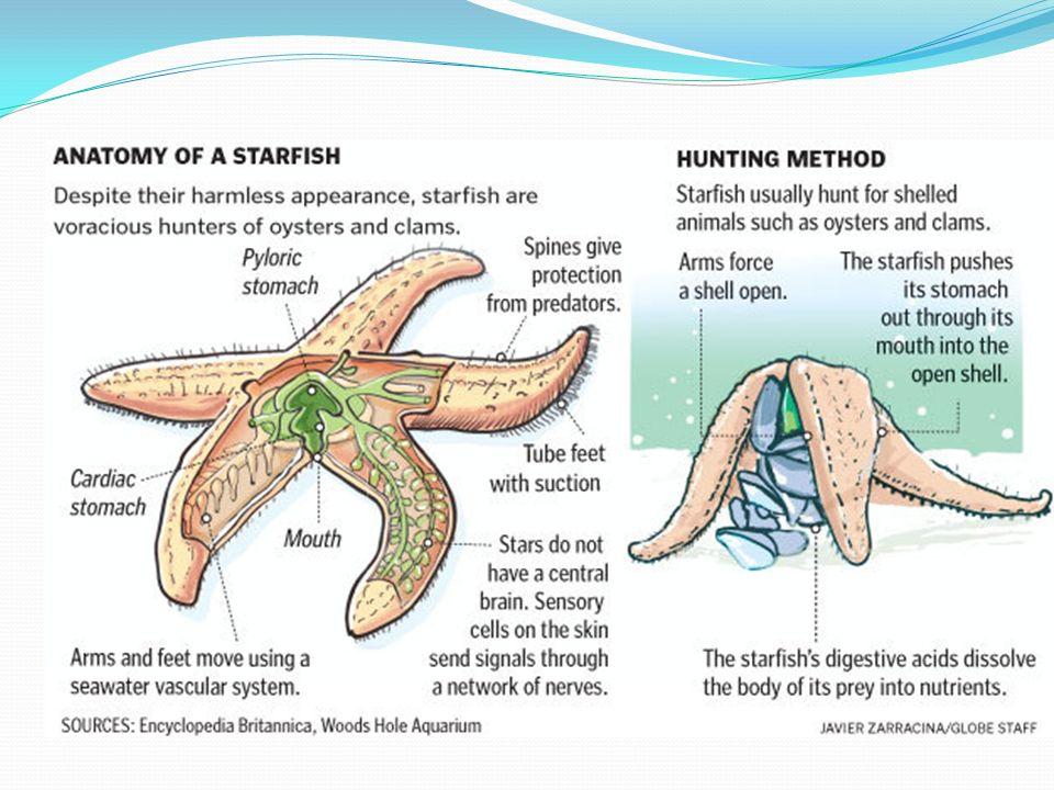 Starfish Stomach Diagram - DIY Enthusiasts Wiring Diagrams •