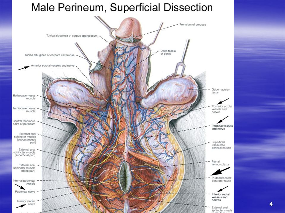 MALE PERINEUM LECTURE BY - ppt video online download