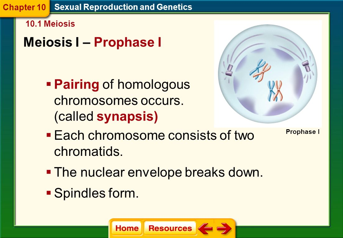 Meiosis I - Interphase Sexual Reproduction and Genetics 10.1 Meiosis  Chromosomes replicate.