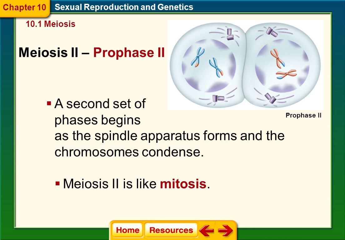 Meiosis I – Telophase I Sexual Reproduction and Genetics 10.1 Meiosis  The spindles break down.