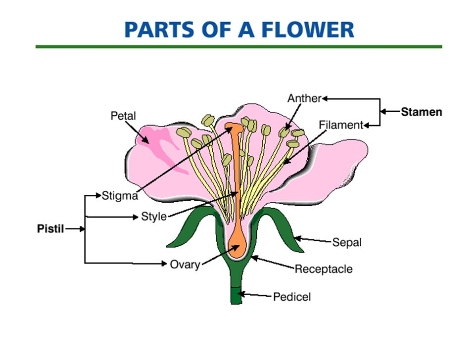 slide_13 examining parts of a flower ppt video online download