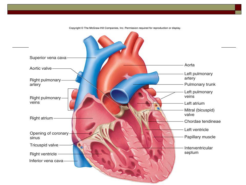 heart diagram mcgraw wiring diagram Heart Diagram Black and White cardiovascular system northwest rankin high school human a\\u0026p ppt heart diagram mcgraw