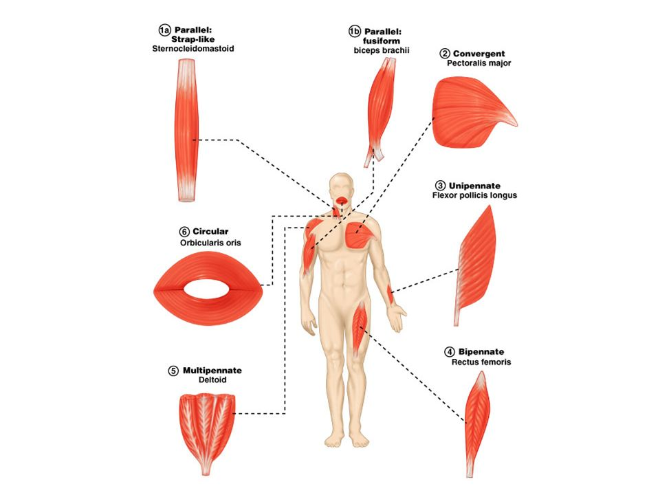 Diagram Skeletal Muscle Shapes - Block And Schematic Diagrams •