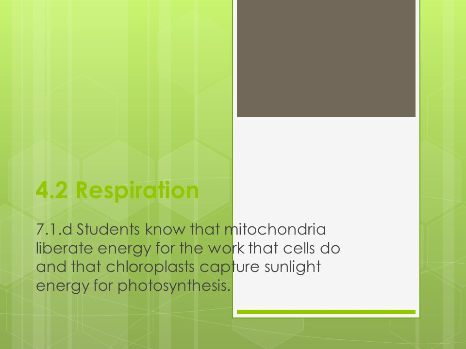 4.2 Respiration 7.1.d Students know that mitochondria liberate energy for the work that cells do and that chloroplasts capture sunlight energy for photosynthesis.