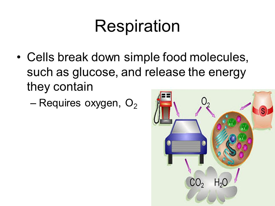 Respiration Cells break down simple food molecules, such as glucose, and release the energy they contain –Requires oxygen, O 2