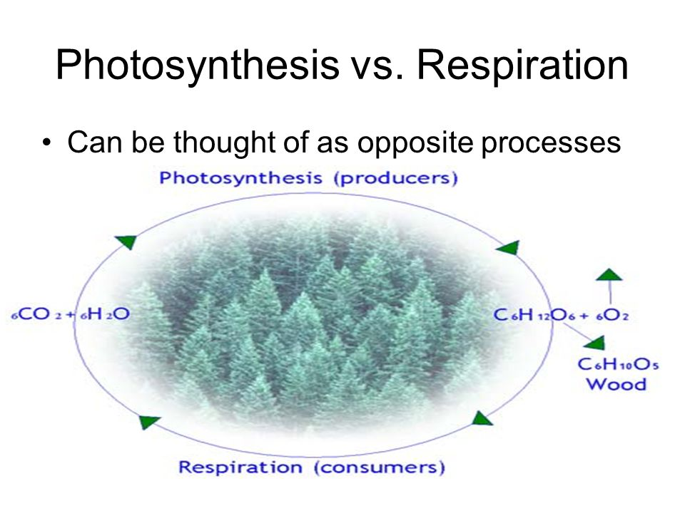 Photosynthesis vs. Respiration Can be thought of as opposite processes