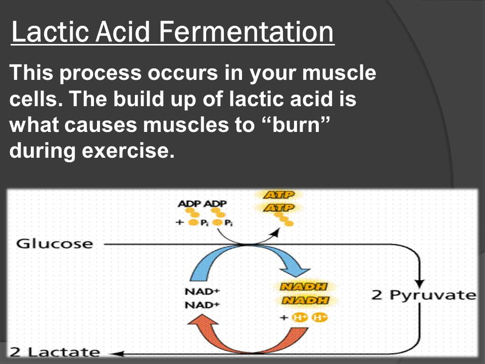 Lactic Acid Fermentation This process occurs in your muscle cells.
